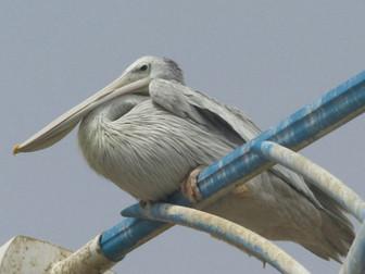 Jizan to Al Namas: A Saudi Birding Epic (July 2020)