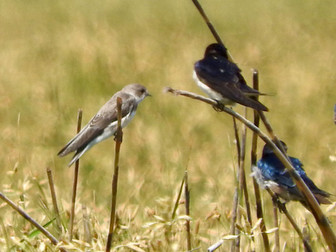 Pale Sand Martin vs. Common Sand Martin