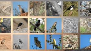 جواهر ذات أجنحة وغناء: رصدٌ لبعض طيور شبه الجزيرة العربية