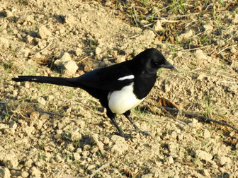 A Morning with Magpies in Billahmer: Bittersweet Encounters with One of the World's Rarest Birds