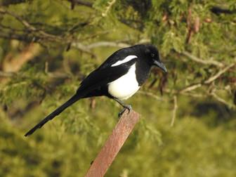 Birding Billahmer (January 2020)