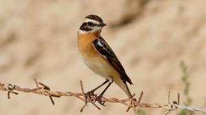 Spring Birding around Salwa, Act Two