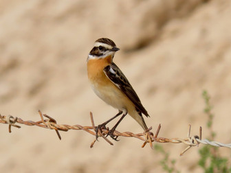 Spring Birding around Salwa, Act Two