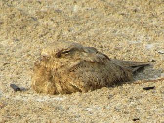 Birding Saudi's Eastern Province—Al Ahsa Hotspots