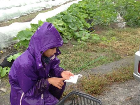 野菜は鮮度が命!雨でも収穫〜