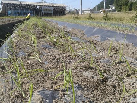 【イベント】淡路島特産たまねぎ植えてみよう!