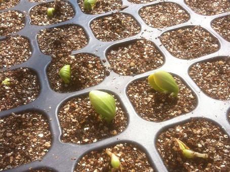 夏野菜の発芽