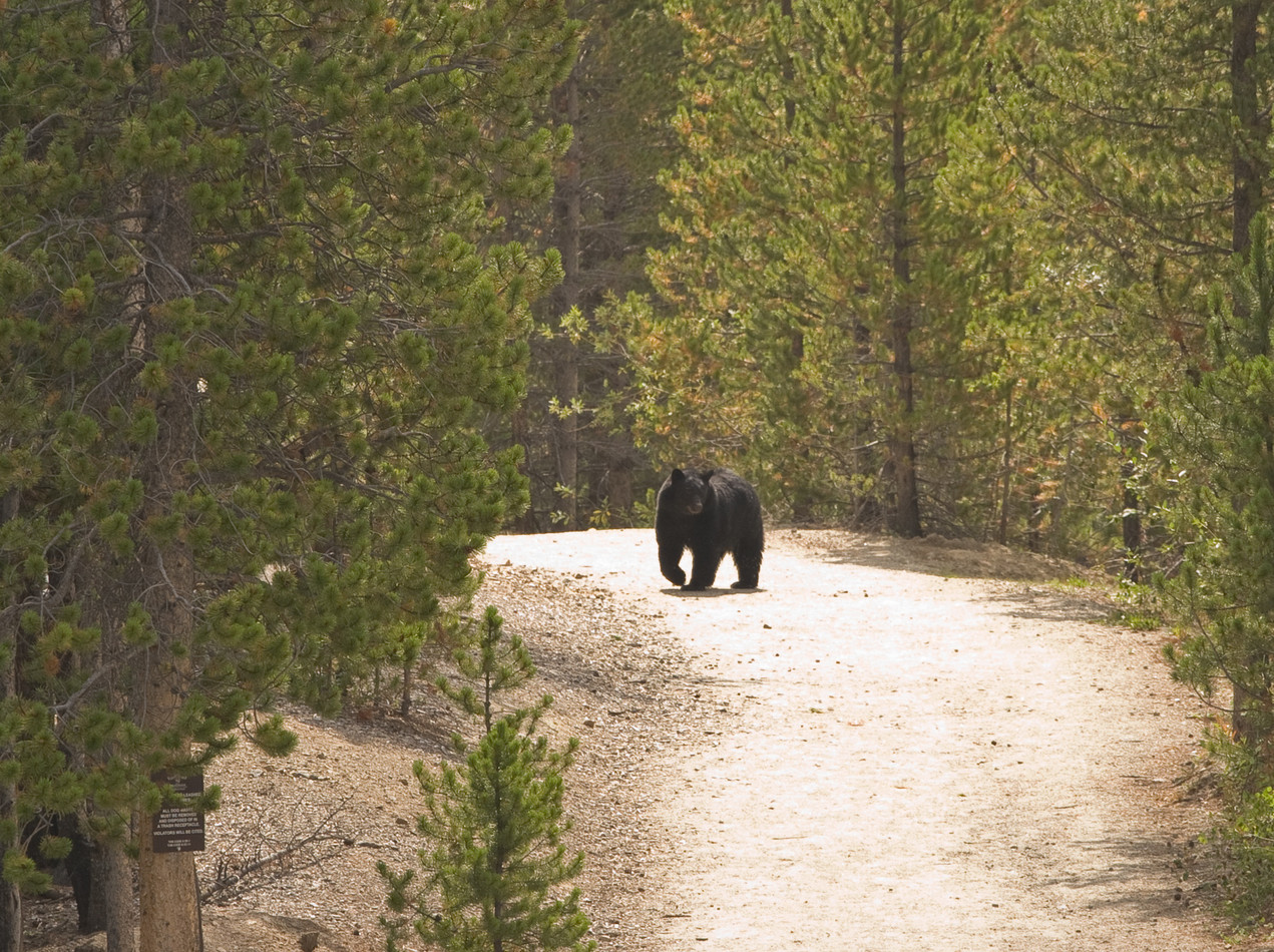 black bear near Breckenridge, CO
