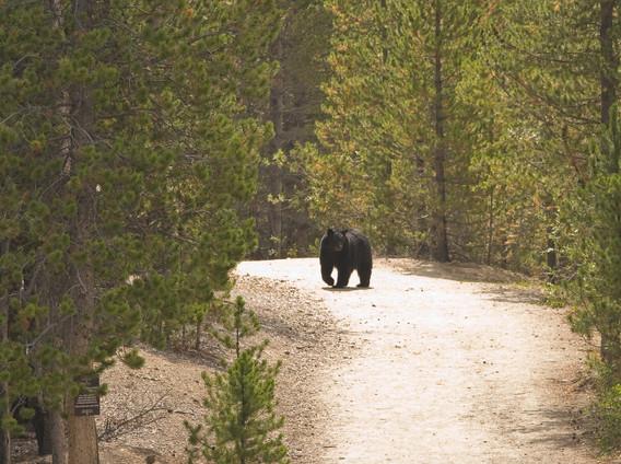 black bear near Breckenridge, CO