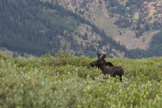 Moose on Guanella Pass, CO