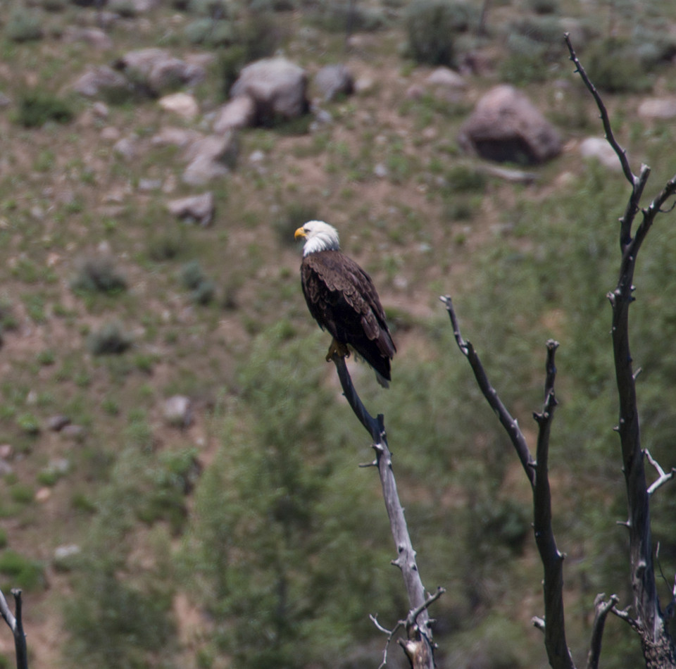 Bald Eagle just outside the Eagles Nest Wilderness