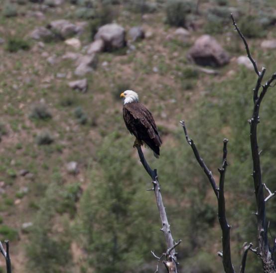 Bald Eagle just outside the Eagles Nest Wilderness