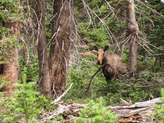 Moose hiding