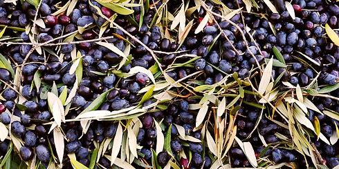 Aguadeoro Olivenöl Viele Oliven auf Haufen Olivenöl nativ extra Olivenöl gesund Olivenöl premium