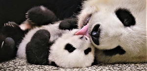The size of a newborn giant panda cub is 900 times smaller than an adult panda