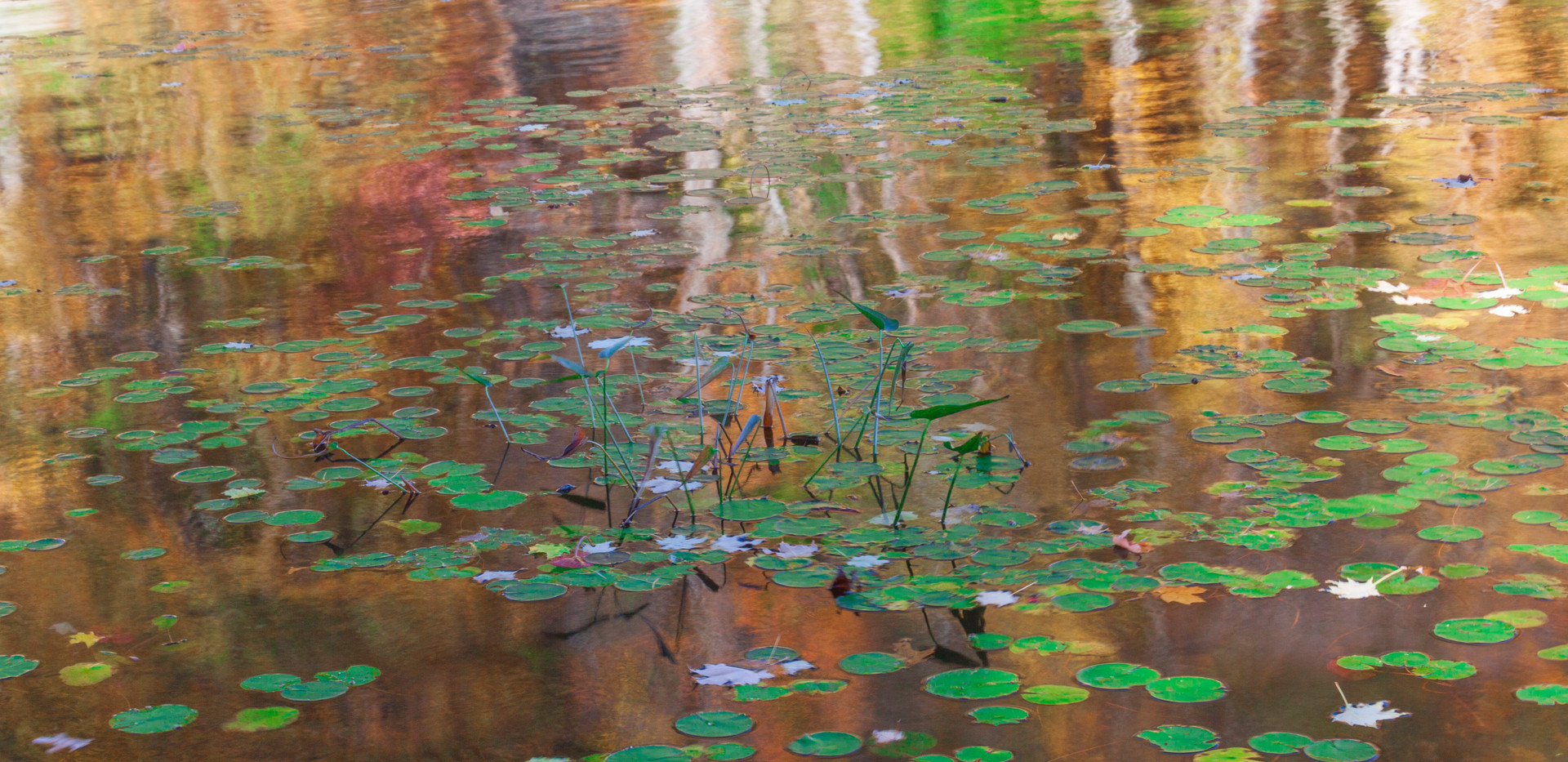 Monets Lily Pads, Harriman State Park