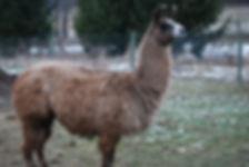 gaurd llama for icelandic sheep quiet symphony farm