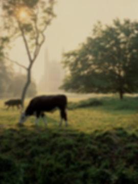 Cows-Kings.jpg