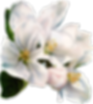 magnolias-white.png