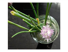glass vase with water and single purple green onion bloom with onion tips