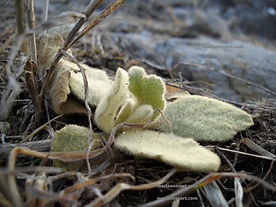 Small fuzzy green plant in the winter ground