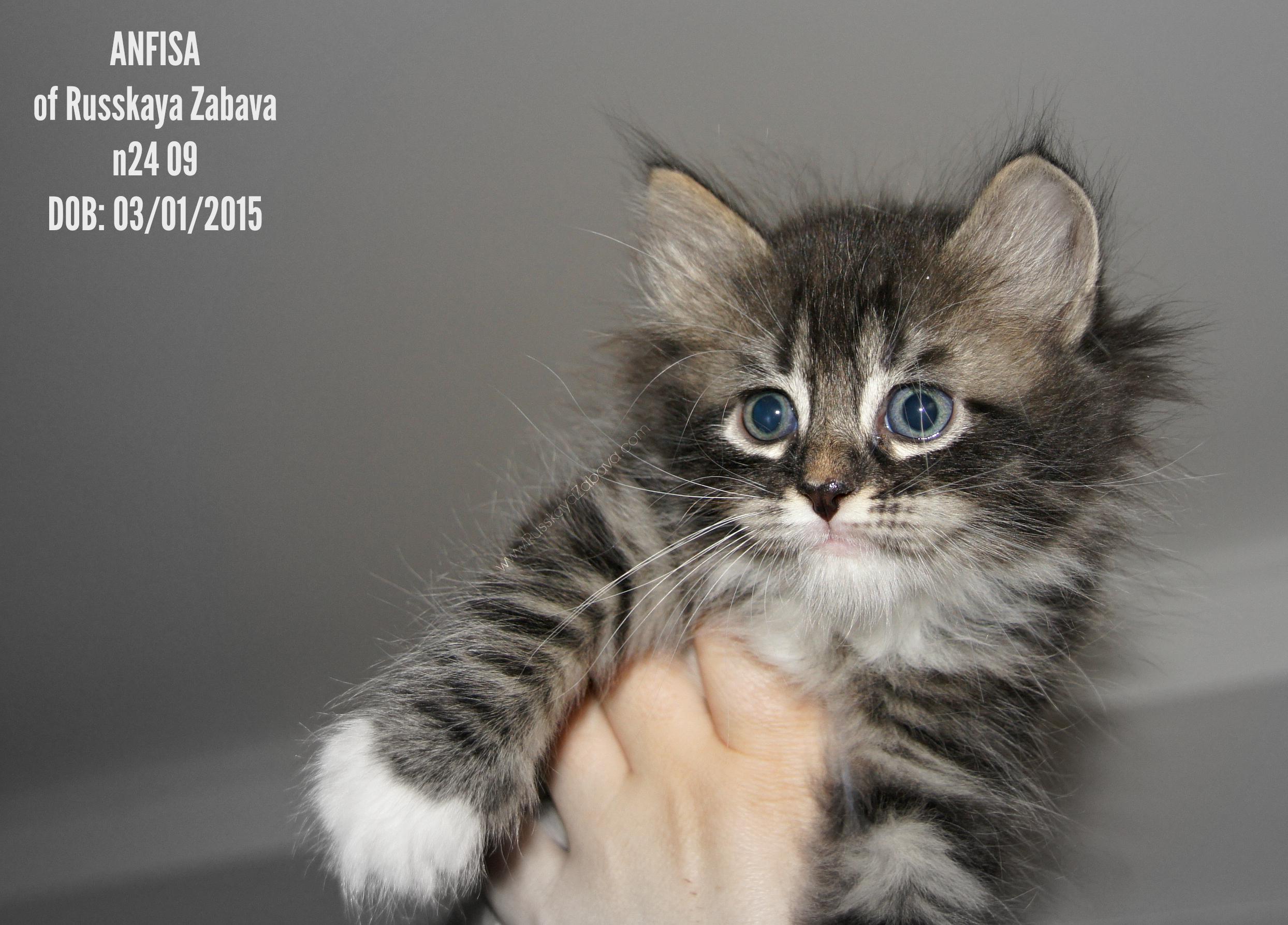АНФИСА РУССКАЯ ЗАБАВА  кошка, n24 09