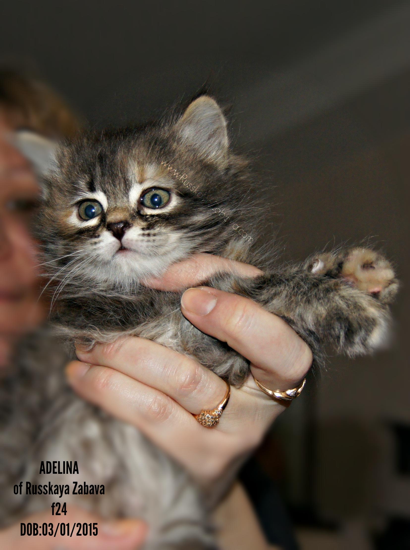 АДЕЛИНА РУССКАЯ ЗАБАВА кошка, f24