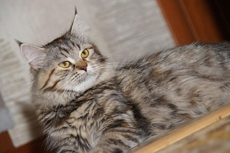 сибирские кошки, котята, siberian cats, kitten, сибирские кошки, котята, siberian cats, kitten