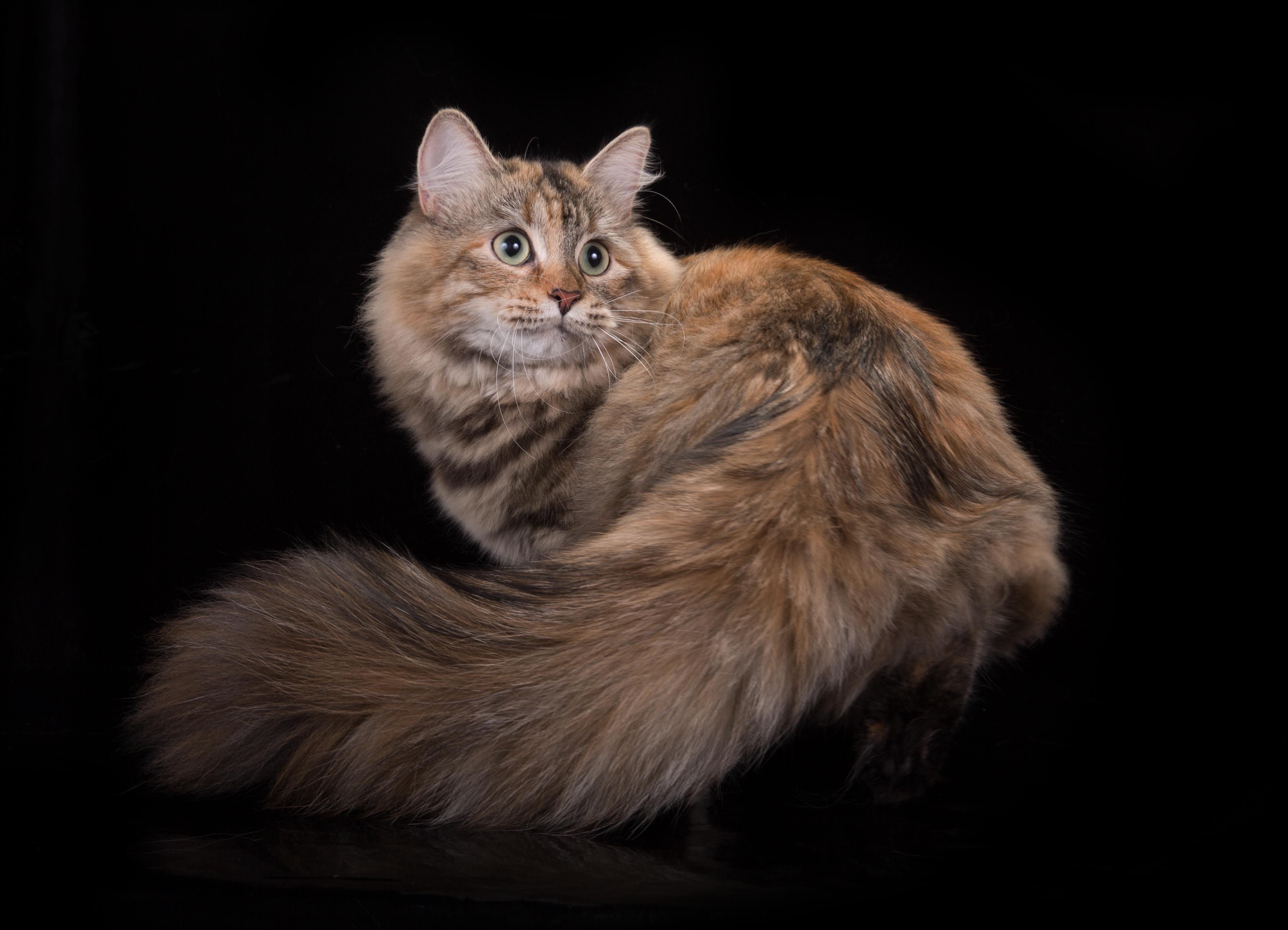 АКУЛИНА РУССКАЯ ЗАБАВА кошка, f24