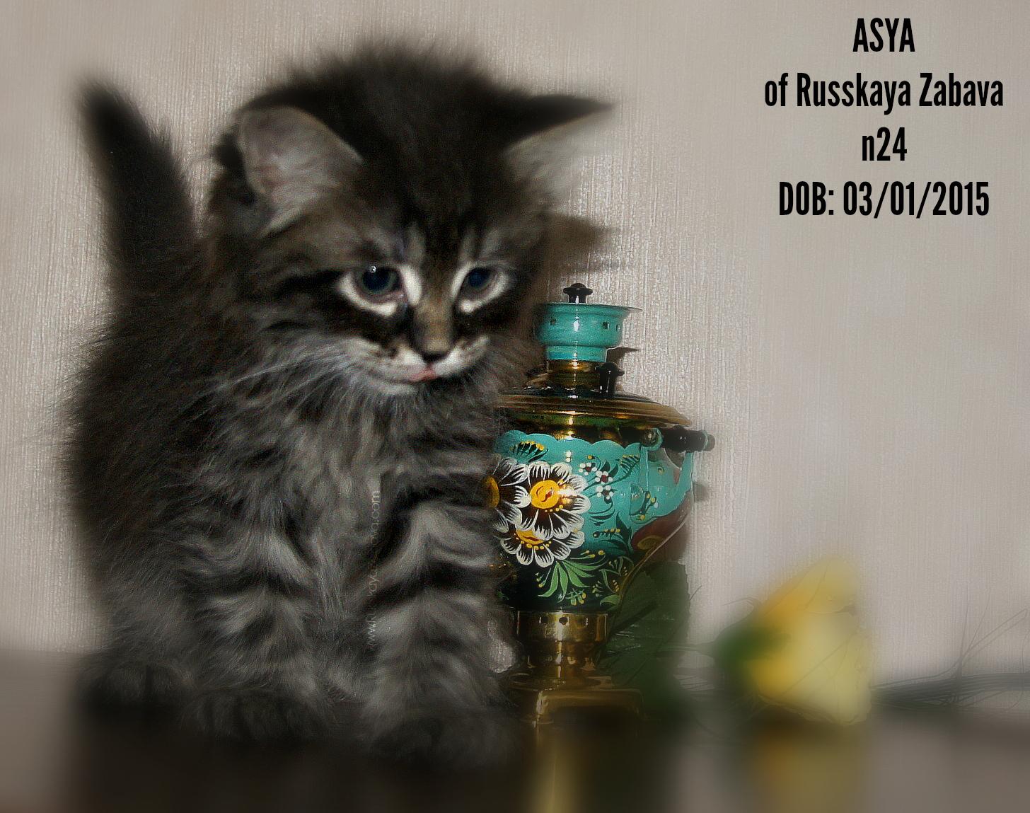 АСЯ РУССКАЯ ЗАБАВА  кошка, n24