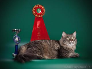 """20 августа 2016 г. Тверь. Международная выставка кошек """"PARTY CATS"""" (КЛК """"Альфа Кот&q"""