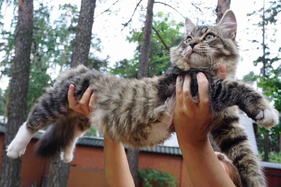 АЛТАЙ РУССКАЯ ЗАБАВА кот, n23 09