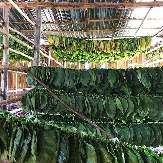 Tobacco plants drying 2