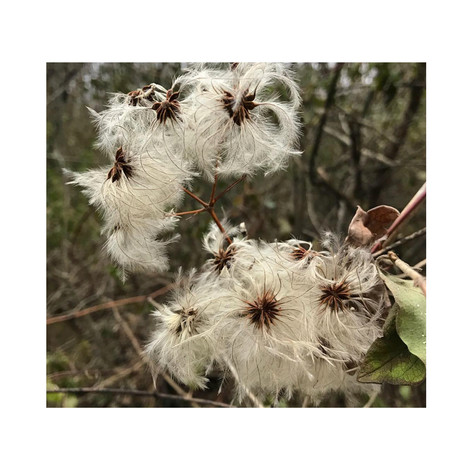Fluffy Seeds.jpg