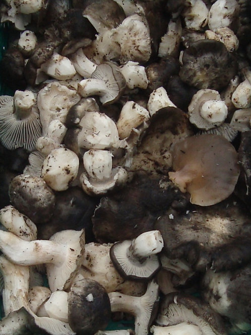 Hygrophorus Marzuollus ( ΜΑΡΤΟΥΛΙΑ )