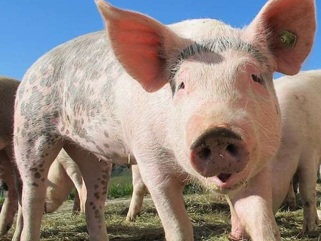 Pig Leads Pine County Sheriff's Deputy on Wild Goose Chase