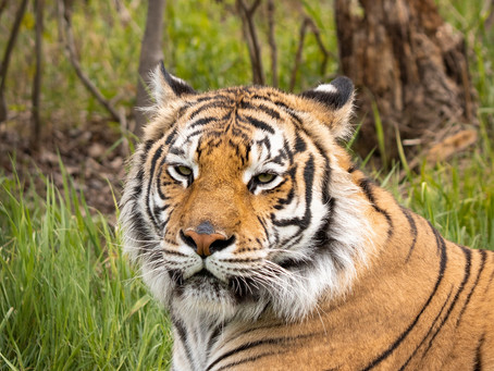 Sandstone Wildcat Sanctuary Takes in Big Cats from Infamous Tiger King Park
