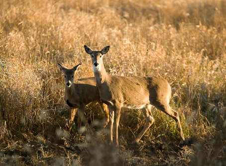 East Central Minn. Counties Added to DNR Deer Feeding Ban