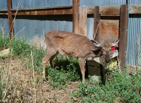 Douglas Co. CWD Case Linked to Pine Co. Herd
