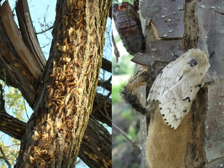 Gypsy Moth Invasion in Pine County - 6-22 News