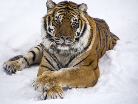 Tiger Tests Positive for COVID-19 in Pine County