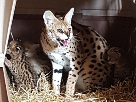 Rescued African Cats Brought to Sandstone