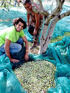 Harvesting Olives, Monasterace, Italy