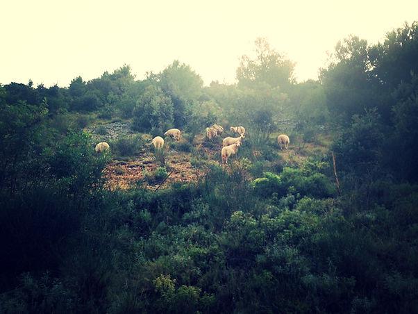Sheep grazing on the Island of Brač off the coast of Croatia