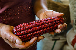 red corn in hands