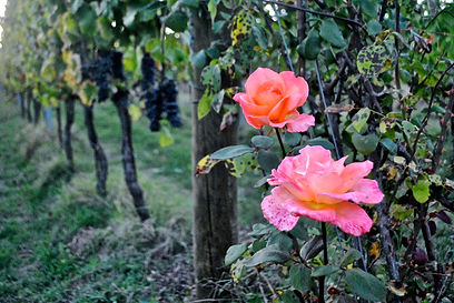 Roses on a vineyard in Montefalco, Italy