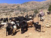 Food Heritage Foundation_goat shepherding