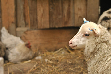 Lamb on a farm in Järbo, Sweden