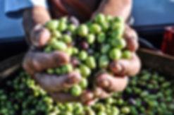 Italy Olive Harvest 3.jpg