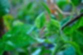 Zucchini Plant, Italy